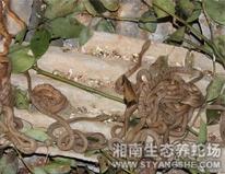 散养的幼王锦蛇